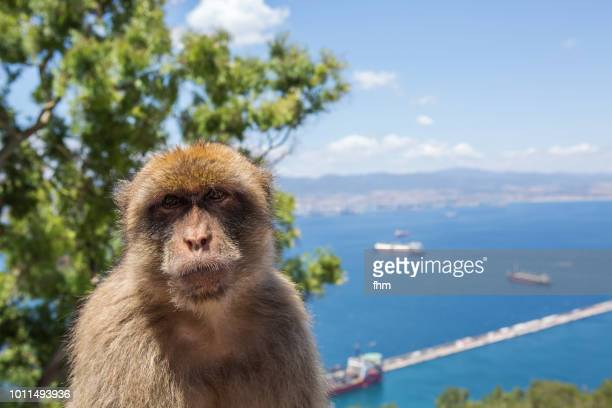 barbary macaque, living free on the rock of gibraltar (gibraltar/ uk) - rock of gibraltar stock photos and pictures