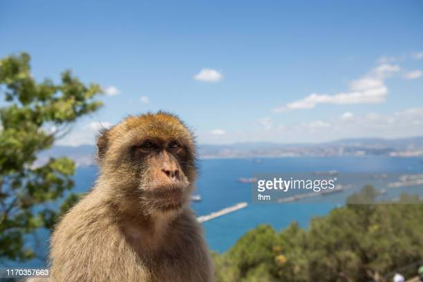 barbary macaque, living free on the rock of gibraltar (gibraltar/ uk) - バーバリーマカク ストックフォトと画像