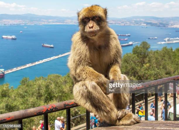 barbary macaque, living free on the rock of gibraltar (gibraltar/ uk) - ジブラルタルの岩山 ストックフォトと画像