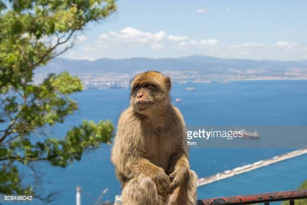 barbary macaque, living free on the rock of gibraltar (gibraltar/ uk) - gibraltar stock pictures, royalty-free photos & images