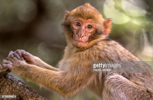 A Barbary macaque looks on from a tree branch in a forest near the Moroccan town of Azrou in the Atlas mountain chain on April 15 2017 The only...