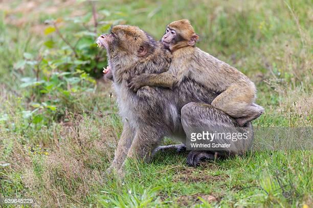 Barbary Macaque -Macaca sylvanus-, adult and young, captive, Rhineland-Palatinate, Germany