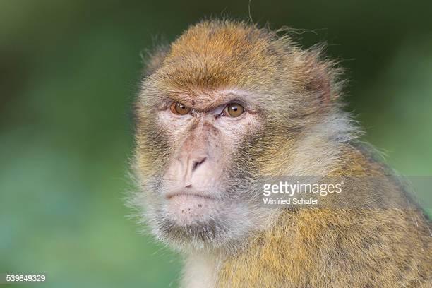 Barbary Macaque -Macaca sylvanus-, adult, captive
