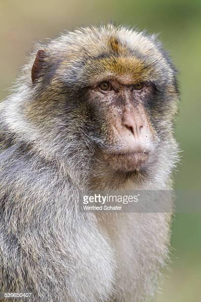 Barbary Macaque -Macaca sylvanus-, adult, native to Morocco, captive
