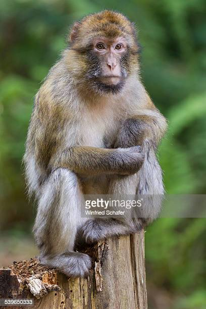 Barbary Macaque -Macaca sylvanus-, captive