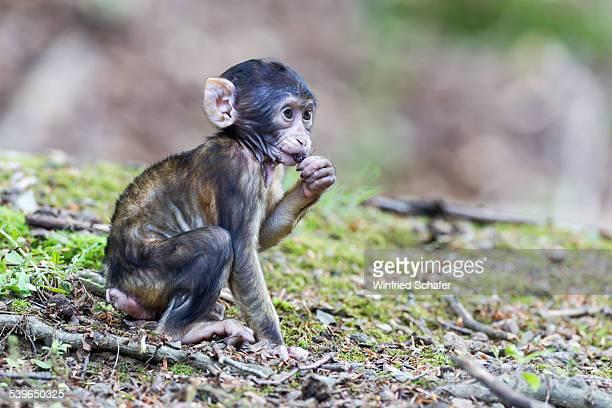 Barbary Macaque -Macaca sylvanus-, infant, captive
