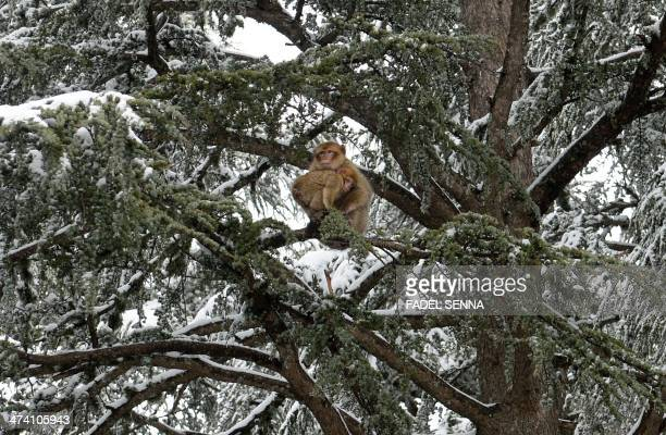 Barbary macaque monkeys are seen in a forest near the Moroccan town of Azrou in the middle of the Atlas mountain chain on February 19 2014 Britain's...