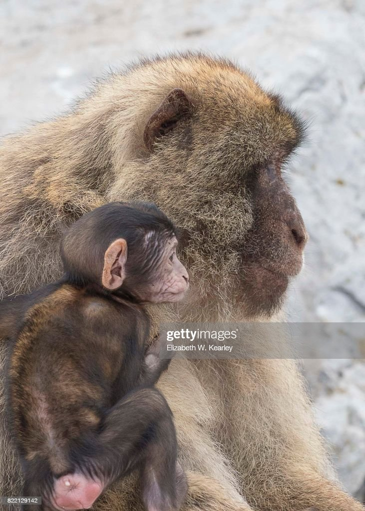 Barbary Macaque Mother and Baby : Stock Photo