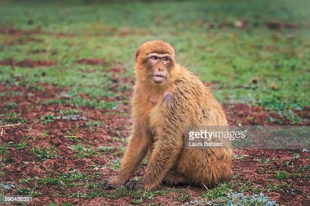 barbary macaque - バーバリーマカク ストックフォトと画像