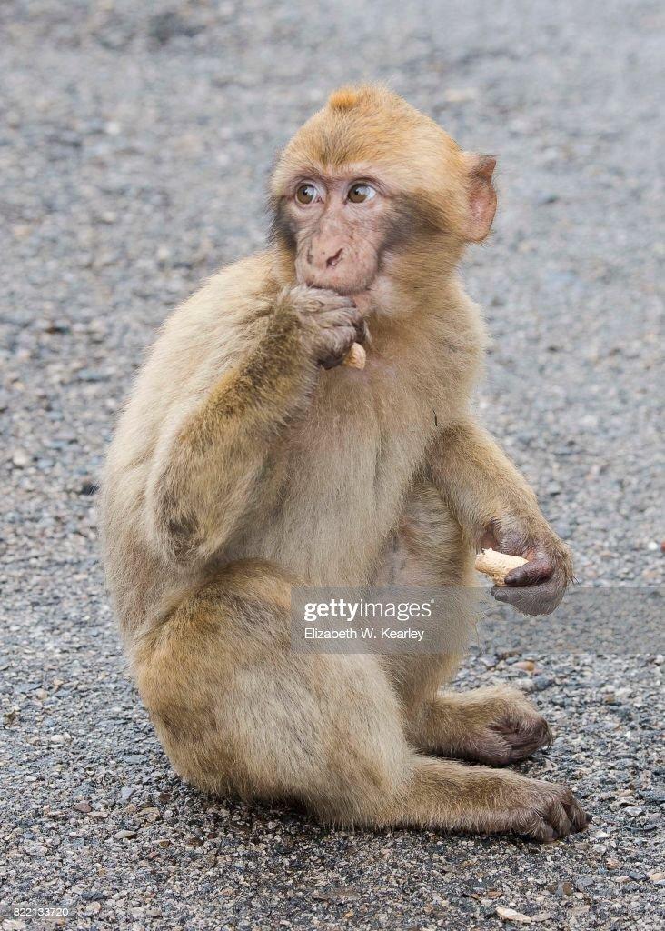 Barbary Macaque : Stock Photo