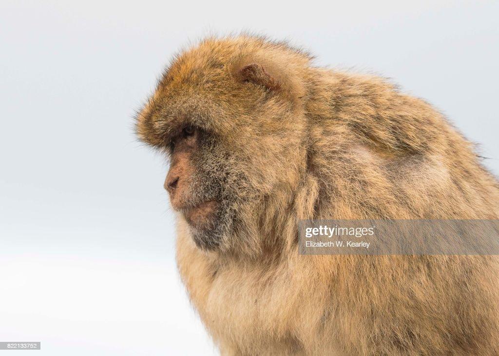 Barbary Macaque : ストックフォト