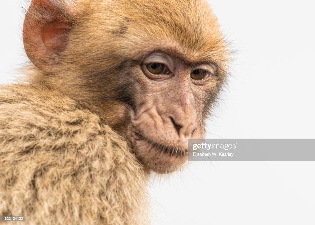 Barbary Macaque : Stock Photo