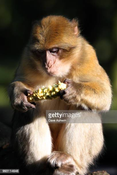 barbary macaque - dave ashwin stock pictures, royalty-free photos & images