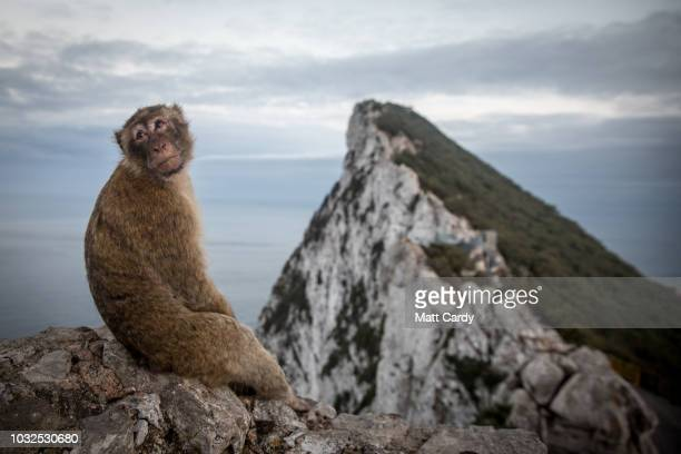 Barbary macaque wild monkey sits at the top of the rock on September 9 2018 in Gibraltar Gibraltar As the date for the United Kingdom's departure...