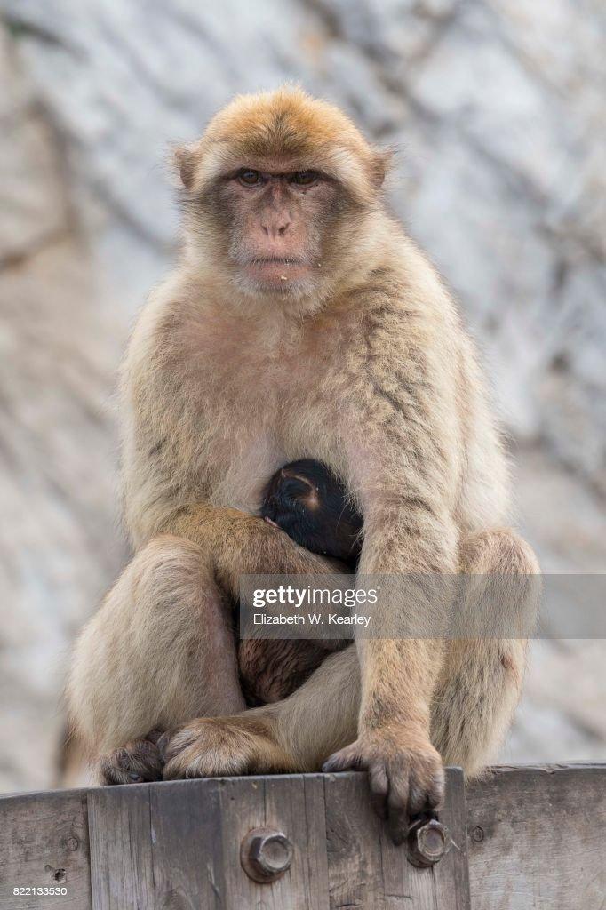 Barbary Macaque with Baby : Foto de stock