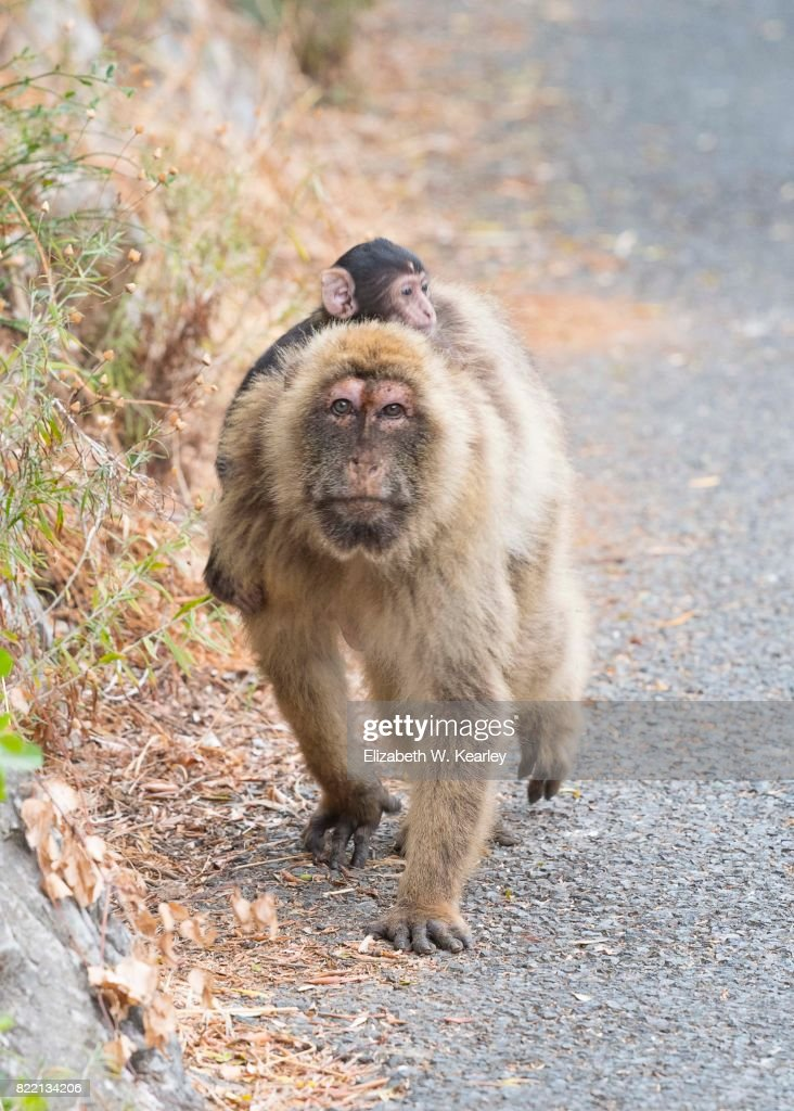 Barbary Macaque with Baby : Stock Photo