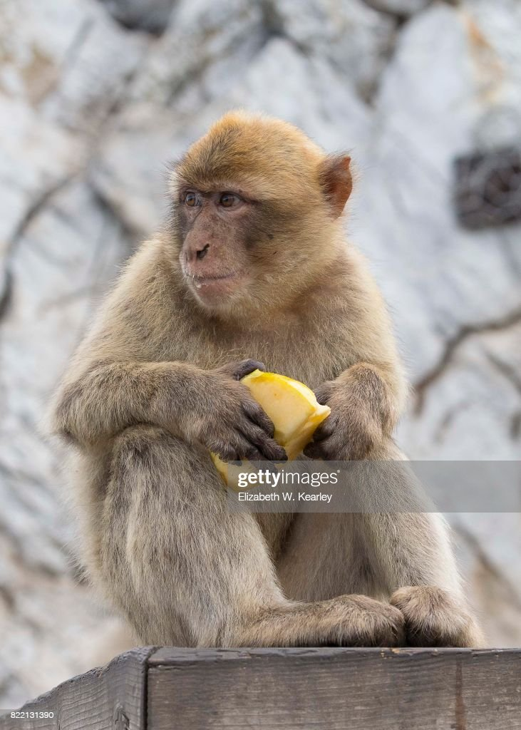 Barbary Macaque with Fruit : Stock Photo