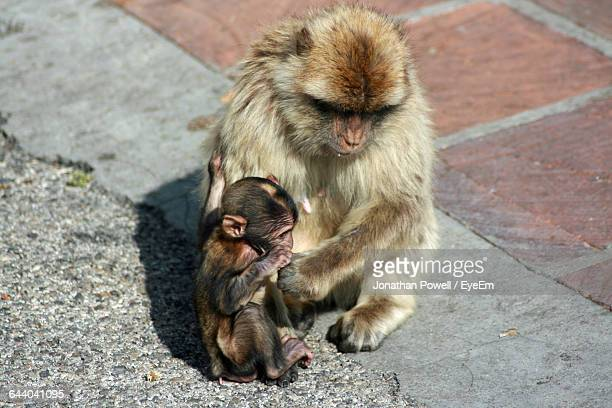 Barbary Macaque With Infant On Street