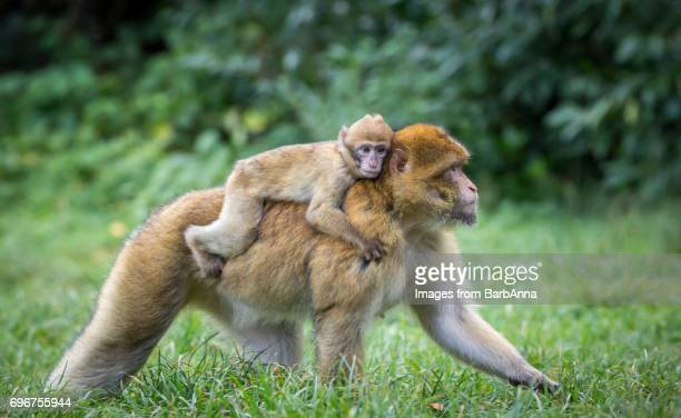 barbary macaques (macaca sylvanus) - barbary macaque infant being carried on adult's back - バーバリーマカク ストックフォトと画像