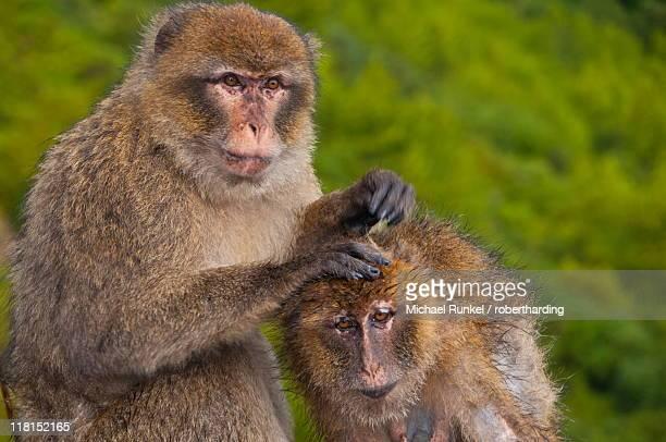 Barbary Macaques (Macaca sylvanus) grooming, Cap Carbon, Bejaia, Kabylia, Algeria, North Africa, Africa