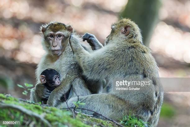 barbary macaques -macaca sylvanus-, native to morocco, captive - バーバリーマカク ストックフォトと画像