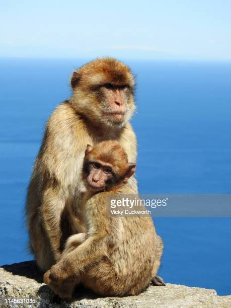 barbary macaques - バーバリーマカク ストックフォトと画像