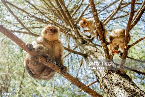 Barbary macaques sit in tree branches in a forest near the Moroccan town of Azrou in the Atlas mountain chain on April 15 2017 The only species of...