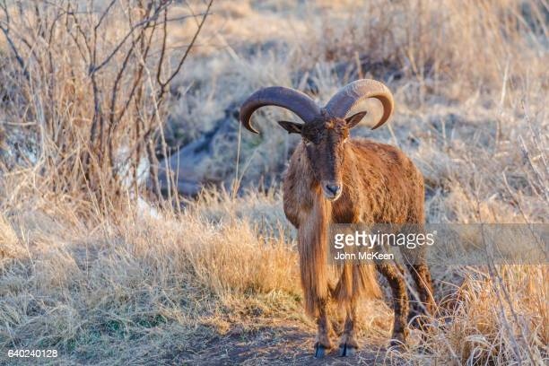 a barbary sheep - ram animal stock photos and pictures