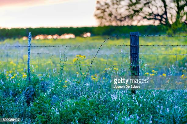 A barbed wire fence in the middle of Texas wildflowers at sunset.