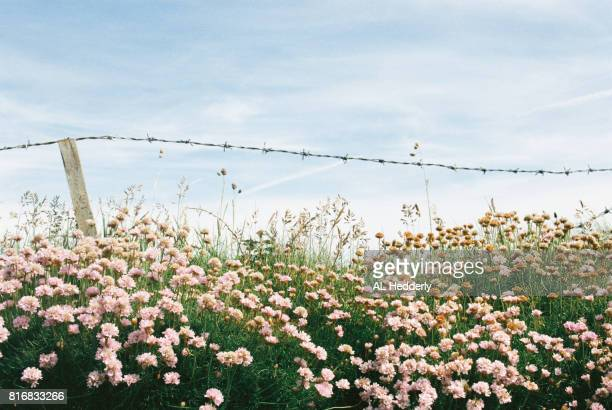 Barbed wire fence with Sea Thrift