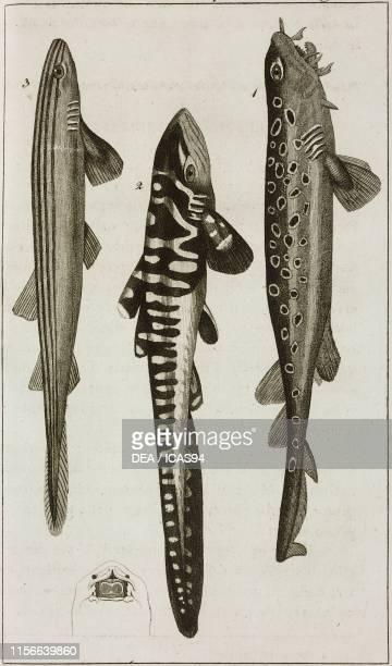 1 Barbeled Houndshark 2 Tiger shark 3 Gallonato Shark engraving by Dala from Le opere di Buffon by GeorgesLouis Leclerc de Buffon and Bernard Germain...