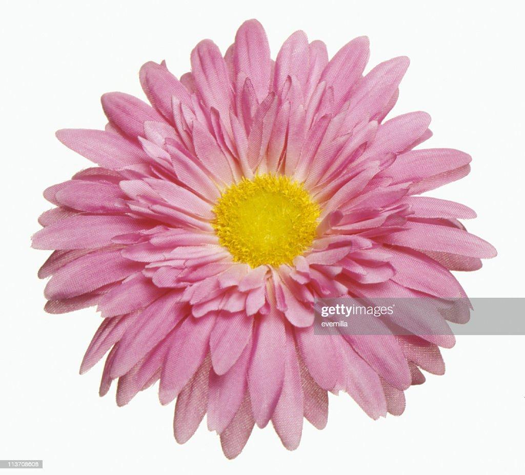 Barbeton daisy gerbera flower cut out on white stock photo getty barbeton daisy gerbera flower cut out on white stock photo mightylinksfo Choice Image