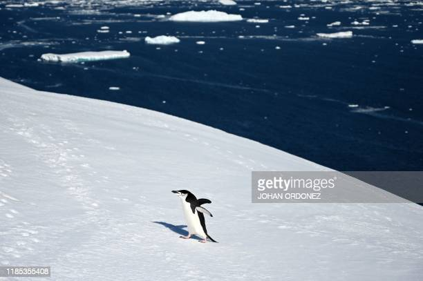 Barbijo penguin is seen at Orne Harbour in South Shetland Islands, Antarctica on November 08, 2019.