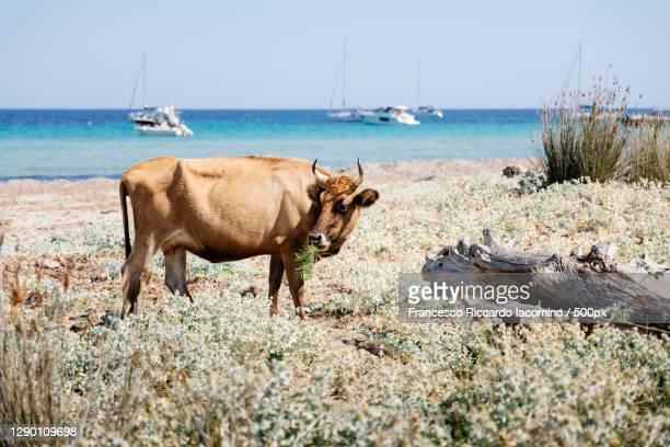 barcaggio beach with cow,cape corse,france - francesco riccardo iacomino france foto e immagini stock