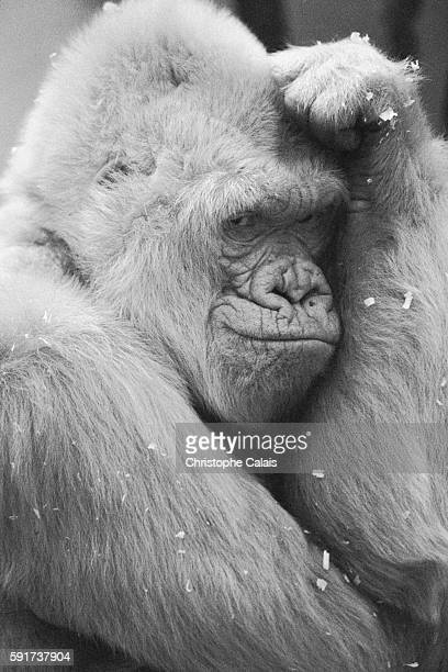 Barcelona Zoo Copito de Nieve is the only albino gorilla recorded on the planet She died in 2003 | Location Barcelona Spain