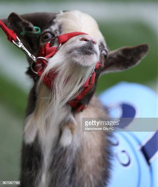 Barclays Premier League Manchester City v Tottenham Hotspur Etihad Stadium Manchester City's goat Shaun on the pitch at half time