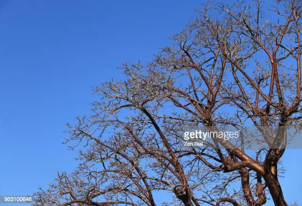 Bare branches of Gumbo limbo, Bursera simaruba, also called copperwood or chaca tree