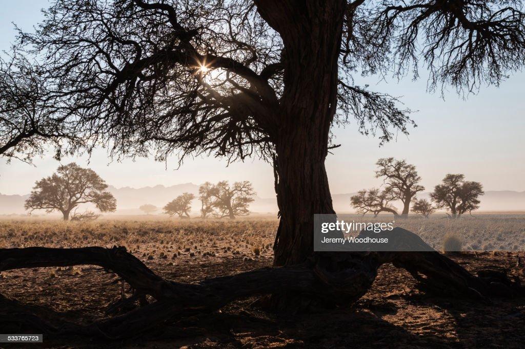 Bare camelthorn tree in desert landscape : Foto stock