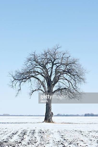 bare cottonwood tree