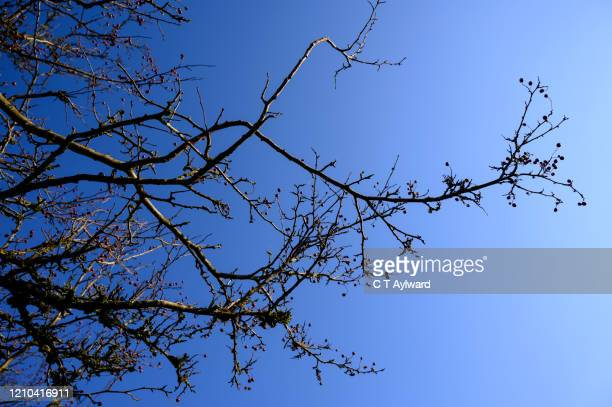 bare hawthorn bush against bright vivid blue sky - bare tree stock pictures, royalty-free photos & images