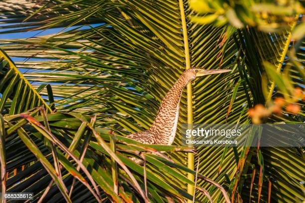 Bare throated Tiger Heron perched in a palm tree in Mexico.