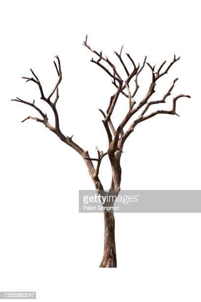 bare tree against isolated on white background. - bare tree stock pictures, royalty-free photos & images
