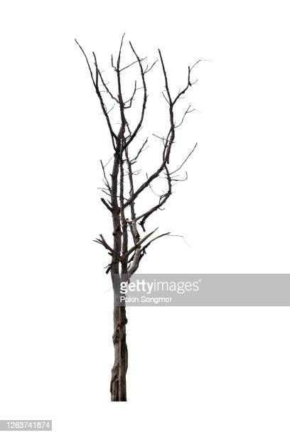 bare tree against isolated on white background. - twijg stockfoto's en -beelden