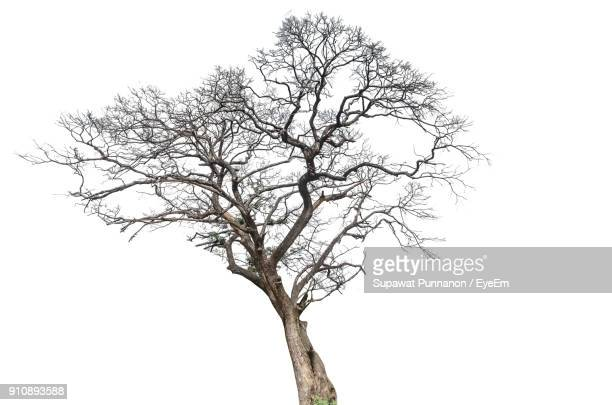 bare tree against white background - kahler baum stock-fotos und bilder