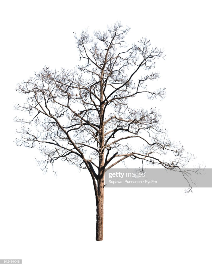 bare tree stock photos and pictures Ireland Coast bare tree against white background