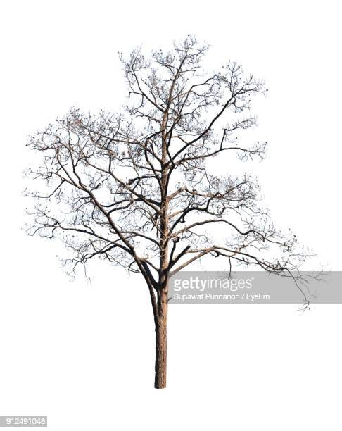 Bare Tree Against White Background