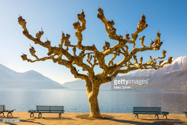 bare tree and benches on the waterfront to alpine lake with sunlight and snow-capped mountain - ascona stock pictures, royalty-free photos & images