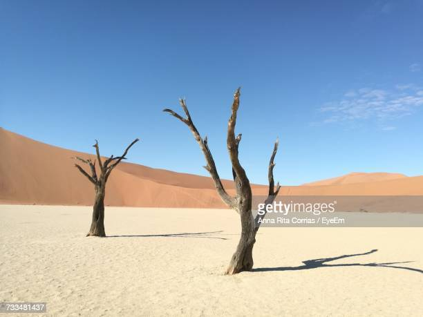 Bare Tree In Desert Against Blue Sky