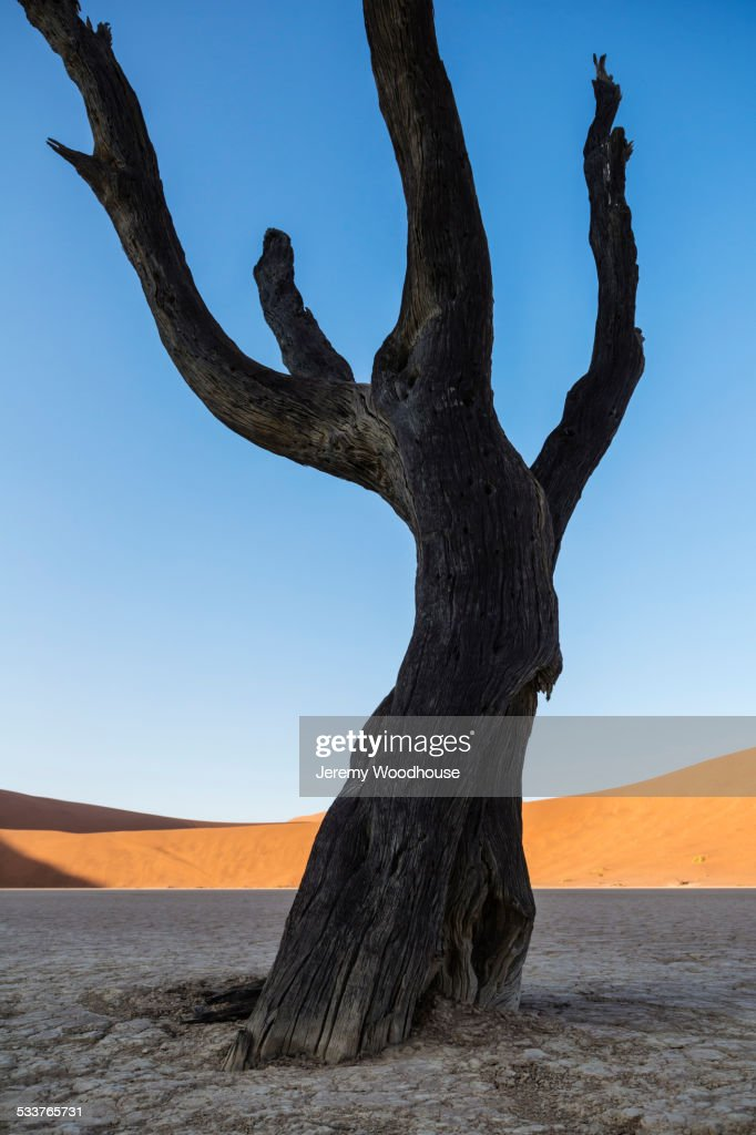 Bare tree in dried lake bed in desert landscape : Foto stock