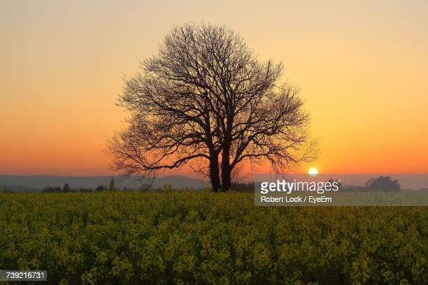 Bare Tree In Field Against Sky During Sunset